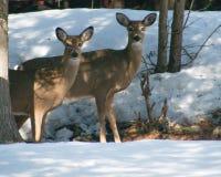 Dos ciervos de la cola blanca que se colocan debajo de árboles en invierno Fotografía de archivo libre de regalías