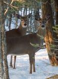 Dos ciervos de la cola blanca que se colocan debajo de árboles en invierno Imagenes de archivo