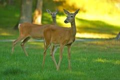 Dos ciervos de Whitetail Imagen de archivo libre de regalías