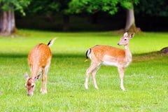 Dos ciervos en barbecho Imagenes de archivo