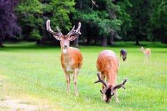 Dos ciervos en barbecho Fotos de archivo libres de regalías