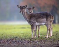 Dos ciervos en barbecho femeninos coloreados oscuridad Fotografía de archivo