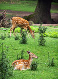 Dos ciervos en barbecho son de reclinación y de pasto Fotos de archivo libres de regalías
