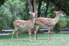 Dos ciervos en la hierba verde. Foto de archivo libre de regalías