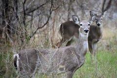Dos ciervos fotografiados en un parque en San Antonio imágenes de archivo libres de regalías