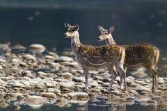 Dos ciervos manchados en el centro del río Imagen de archivo libre de regalías