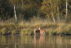 Dos ciervos por el lago Foto de archivo