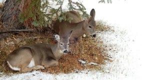 Dos ciervos que descansan debajo de árbol en invierno Foto de archivo libre de regalías