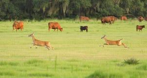 Dos ciervos que limitan a través de un pasto de la vaca Fotos de archivo libres de regalías