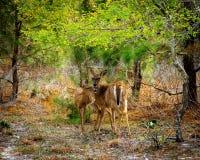 Dos ciervos que se colocan en bosque imágenes de archivo libres de regalías