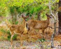 Dos ciervos que se colocan en bosque fotografía de archivo libre de regalías