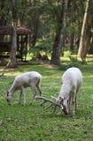 Dos ciervos rojos blancos que comen la hierba en el bosque Foto de archivo