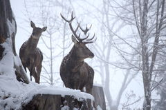 Dos ciervos rojos en una colina Imagen de archivo libre de regalías