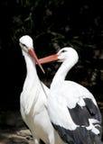 Dos cigüeñas blancas Foto de archivo
