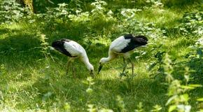 Dos cigüeñas blancas en la hierba A Fotografía de archivo libre de regalías