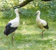 Dos cigüeñas blancas en la hierba B Foto de archivo