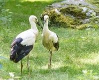 Dos cigüeñas blancas en la hierba C Fotografía de archivo