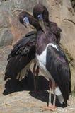Dos cigüeñas de Abdims Fotos de archivo libres de regalías