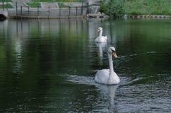 Dos cisnes fotografía de archivo libre de regalías