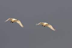 Dos cisnes fotografía de archivo