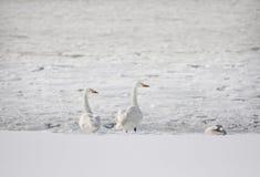 Dos cisnes Fotos de archivo