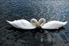 Dos cisnes. Fotografía de archivo libre de regalías