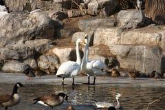 Dos cisnes Imagen de archivo libre de regalías