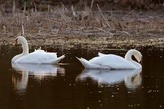 Dos cisnes Imagen de archivo