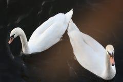 Dos cisnes Imagenes de archivo