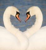 Dos cisnes Foto de archivo libre de regalías