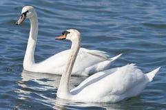 Dos cisnes blancos Fotografía de archivo