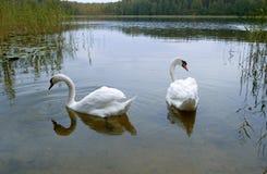 Dos cisnes blancos en un lago, Fotografía de archivo
