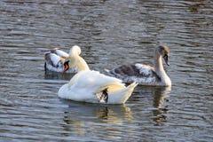 Dos cisnes blancos jovenes con la natación del padre en la superficie del río fotos de archivo libres de regalías