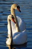 Dos cisnes blancos que nadan Fotos de archivo libres de regalías