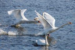 Dos cisnes blancos sacan de superficie del río en el día soleado Fotos de archivo libres de regalías
