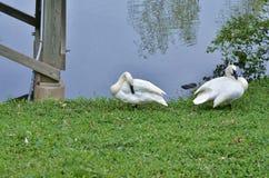 Dos cisnes de la trompeta Imágenes de archivo libres de regalías