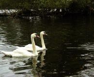 Dos cisnes de lado a lado Foto de archivo