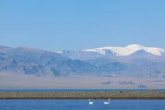 Dos cisnes de los adolescentes en la bahía del lago Uureg Nuur en Mongolia Foto de archivo libre de regalías