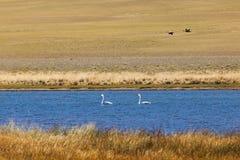 Dos cisnes de los adolescentes en la bahía del lago Uureg Nuur en Mongolia Fotografía de archivo libre de regalías