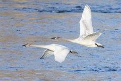 Dos cisnes de trompetista en vuelo Imagen de archivo libre de regalías
