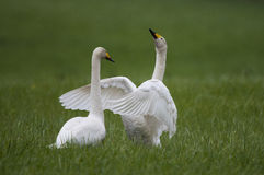 Dos cisnes de whooper Foto de archivo libre de regalías
