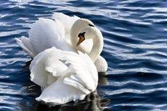 Dos cisnes del rey Fotografía de archivo