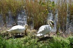 Dos cisnes en cama de lámina en el borde de un lago Imágenes de archivo libres de regalías
