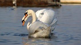 Dos cisnes en el amor que mira la cámara Foto de archivo