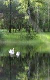Dos cisnes en el lago imagen de archivo libre de regalías