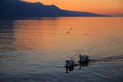 Dos cisnes en el lago Lemán Imagenes de archivo
