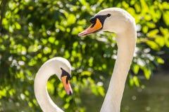 Dos cisnes en forma del corazón Fotos de archivo libres de regalías