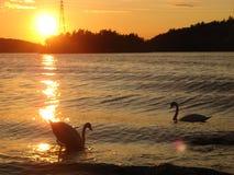 Dos cisnes en la natación de la puesta del sol en el agua imagen de archivo libre de regalías