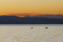 Dos cisnes en la natación del adolescente de la puesta del sol en el lago Fotografía de archivo libre de regalías