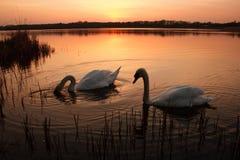 Dos cisnes en la puesta del sol en un lago tranquilo Foto de archivo libre de regalías